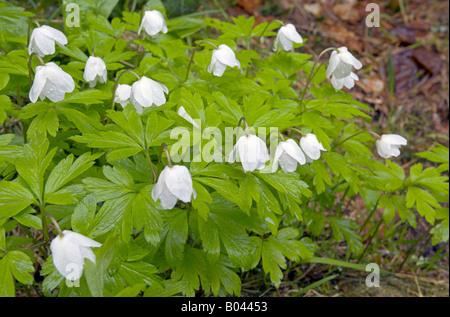 Wood Anemone anemone nemorosa wood anemone windflower smell fox anemone sylvie - Stock Photo
