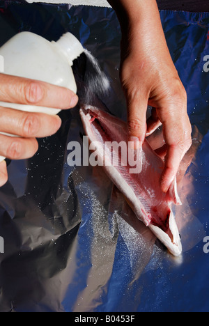 Salting of a whitefish (powan) - Stock Photo