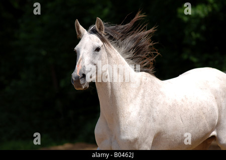 Schimmelpferd Schimmel grey Horse gray Horse white Horse - Stock Photo