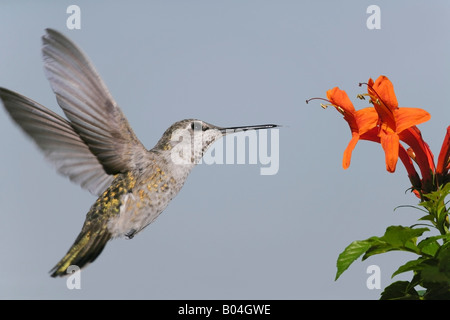 Anna's Hummingbird approaching red blossoms - Stock Photo