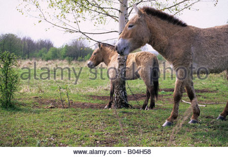 Przewalski horses as part of landscape conservation project in Leipzig Germany - Stock Photo