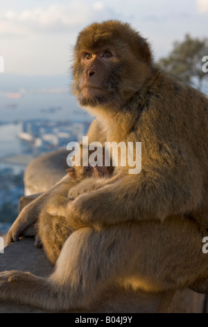 Female Barbary Macaque (aka Barbary Ape), Macaca sylvanus, grooming her young, The Rock of Gibraltar, Gibraltar, - Stock Photo
