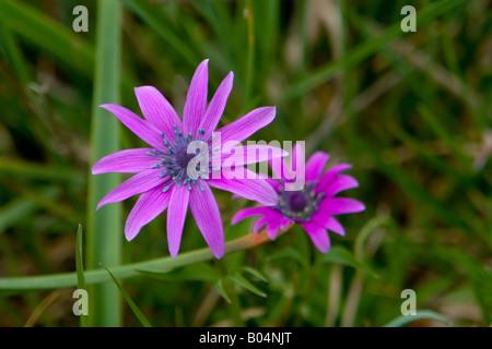 Anemone Blanda Strahlenanemone Mountain Windflower Rhodos Prophitis Ilias Ranunculaceae Hahnenfußgewächse Buttercups - Stock Photo