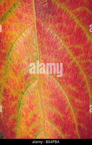 Close-up of Japanese Date Plum Leaf in Autumn/Kaki Tree-Diospyros kaki-Family Ebenaceae - Stock Photo