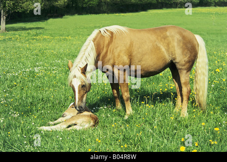 Haflinger horse mare with her 3 days old foal - Stock Photo