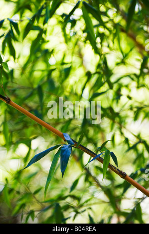 Phyllostachys bambusoides 'Castillonii'. Castillon bamboo leaves. Selective focus - Stock Photo