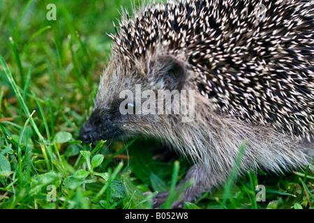 A young West European hedgehog (Erinaceus europaeus) exploring the lawn grass in a suburban area - Stock Photo