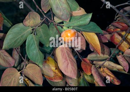 Japanese Date Plum in Autumn with Fruit/Kaki Tree-Diospyros kaki-Family Ebenaceae - Stock Photo