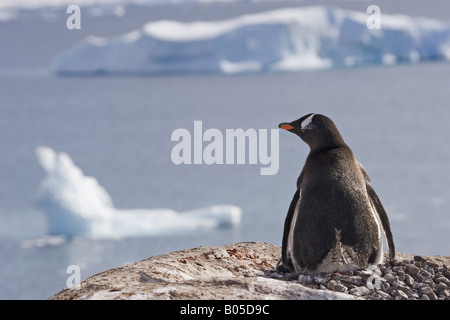 gentoo penguin (Pygoscelis papua), ^sitting on nest, Antarctica, Antarctic peninsula, Paradise Bay - Stock Photo
