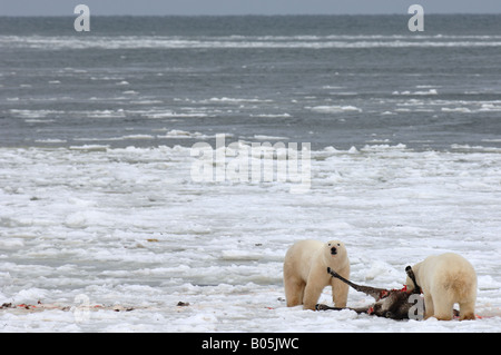 Manitoba Hudson bay unique photos of male polar bear feeding on a caribou carcass - Stock Photo
