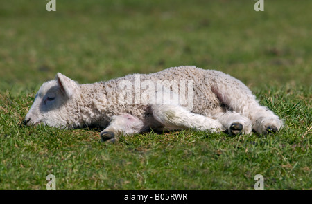 White Lamb laying in grassy Meadow, Dorset, England - Stock Photo