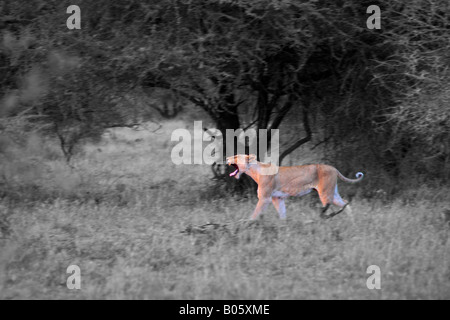 Lioness yawning,  early morning hours at the Kruger National Park, South Africa - Stock Photo