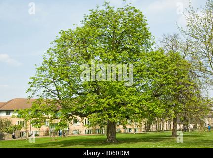A mature Horse Chestnut tree, Aesculus hippocastanum in Spring leaf in Parkland setting, Cambridge - Stock Photo