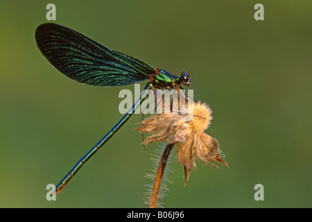 Bluewing, Demoiselle Agrion (Calopteryx virgo) on seed head - Stock Photo