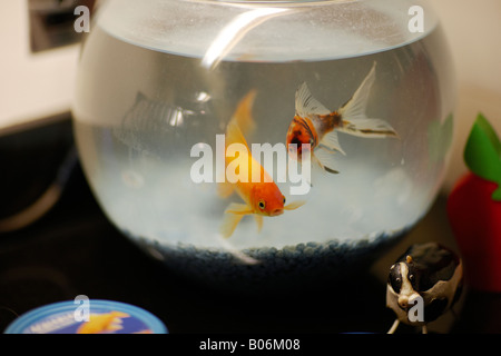 Goldfish, swimming round in a glass goldfish bowl. - Stock Photo
