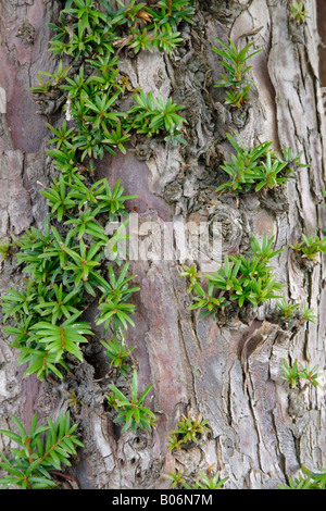 Common yew tree (Taxus baccata) sprouting new growth, UK - Stock Photo