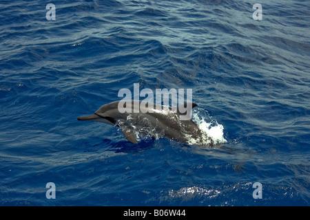 Spinner Dolphin Maldives Stenella longirostris surfacing - Stock Photo