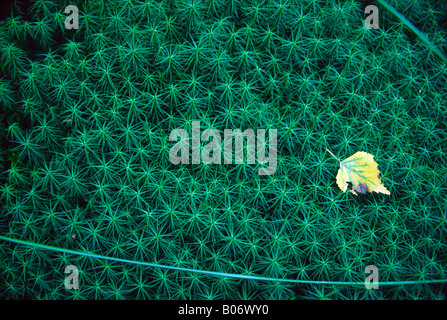 Common Haircap Moss grows in a bog on the west coast of Sweden - Stock Photo