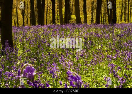 Bluebells in Shoreham Woods Kent England UK - Stock Photo