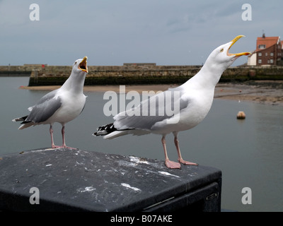 Two herring gulls Larus argentatus calling whilst perched on a bin in Whitby North Yorkshire England UK