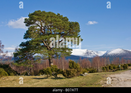 Scots pine tree at Tulloch Grue in Rothiemurchus near Aviemore in the Cairngorms National Park Scotland - Stock Photo