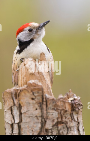 Middle Spotted Woodpecker (Dendrocopos medius) perched on broken tree stump - Stock Photo