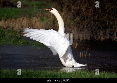 Mute swan flapping its wings on the river Avon in Fordingbridge, Hampshire - Stock Photo
