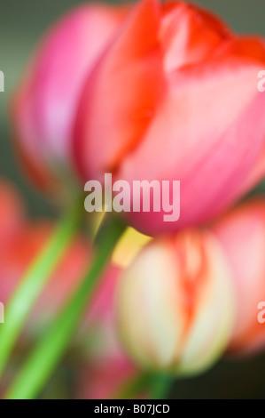 Tulip flowers, close-up, SKAGIT VALLEY WASHINGTON - Stock Photo