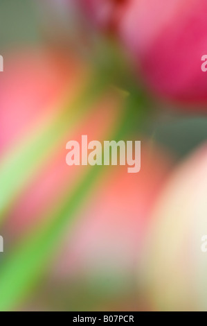 Tulip flowers, close-up, SKAGIT VALLEY WASHINGTON - Stock Photo