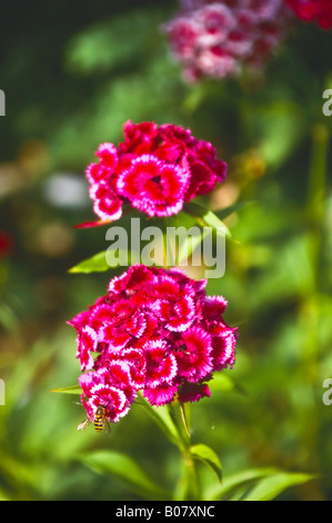Dianthus - Stock Photo