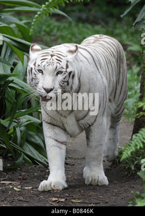 White tiger (Panthera tigris tigris) - Stock Photo