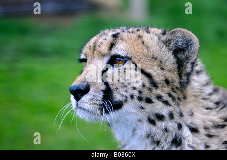 Cheetah - Stock Photo