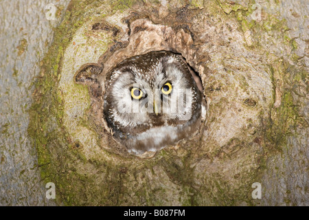 Male Tengmalm's (Boreal) Owl looking out of nest hole - Stock Photo