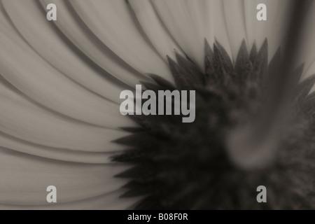 monochrome gerbera - Stock Photo
