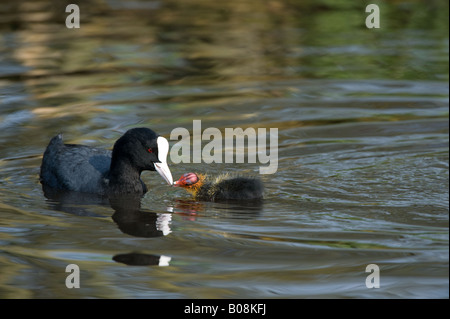 Eurasian Coot Fulica atra feeding young Martin Mere Wildfowl and Wetlands Trust Burscough Lancashire UK April - Stock Photo