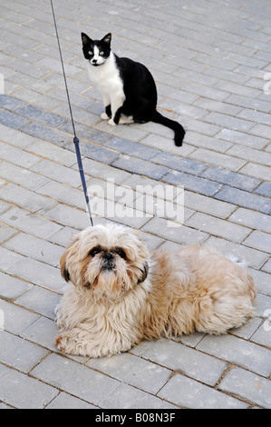 Small white dog on a leash lying down in front of a sitting black and white cat, Alicante, Costa Blanca, Spain - Stock Photo