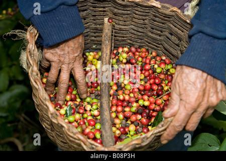 Basket of freshly harvested coffee beans (Coffea), Hacienda El Carmen, Jají, Mérida, Venezuela, South America - Stock Photo