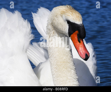 Mute Swan (Cygnus olor) portrait - Stock Photo