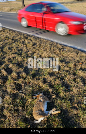 Car speeding past a dead, run-over rabbit on the side of the road, roadkill - Stock Photo