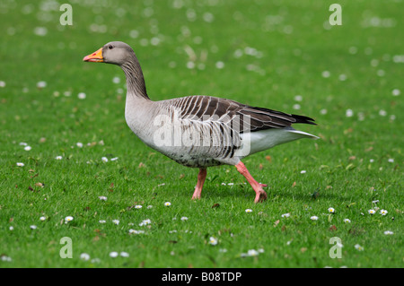 Greylag Goose (Anser anser) on a meadow - Stock Photo