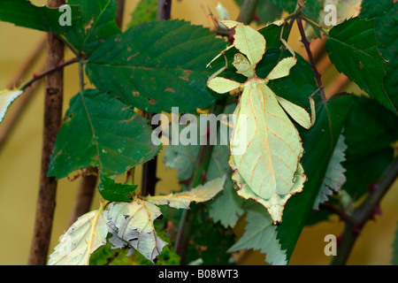 Walking - or Celebes Leaf Insect (Phyllium celebicum) - Stock Photo