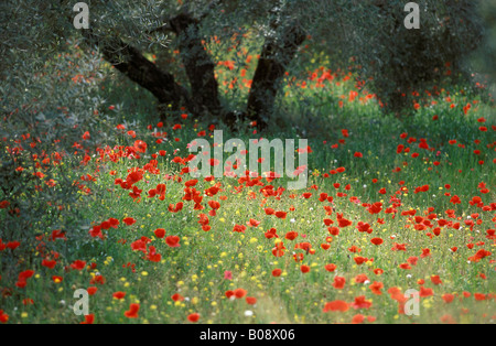 Poppies (Papaver) growing in an olive grove, Jaen Province, Andalusia, Spain - Stock Photo