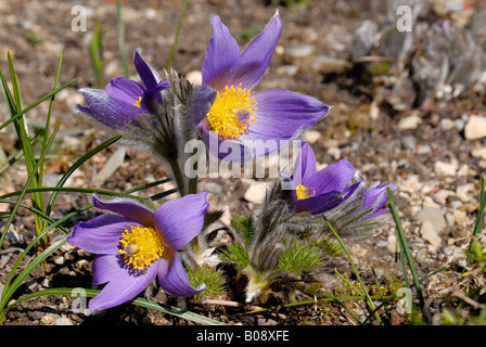 Pasqueflower, Pasque Flower (Pulsatilla spec.) - Stock Photo