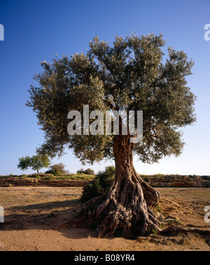 Old Olive tree Olea europaea Sicily. - Stock Photo