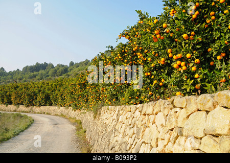 Street, stone wall, plantation, orange trees, Callosa d'en Sarria, Alicante, Costa Blanca, Spain - Stock Photo
