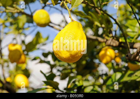 Lemon (Citrus x limon) hanging from a lemon tree, La Nucia, Alicante, Costa Blanca, Spain - Stock Photo