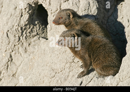 Common Dwarf Mongooses (Helogale parvula) standing on a termite hill, Moremi National Park, Moremi Wildlife Reserve, - Stock Photo