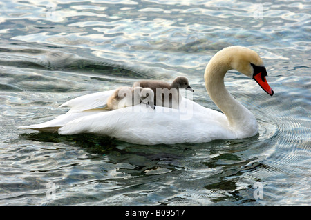 Mute Swan and fledglings, cygnets on its back (Cygnus olor) - Stock Photo