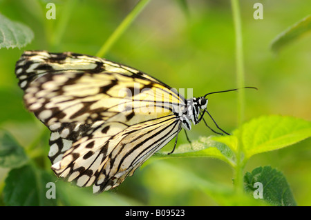 Paper Kite or Rice Paper butterfly (Idea leuconoe) - Stock Photo