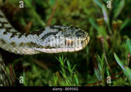 Common European Adder or Viper (Vipera berus), viperidae family, portrait of a male, recently shed its skin, ecdysis - Stock Photo